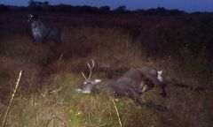 sika stag And griff At last light