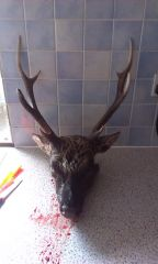 8 point sika head 2