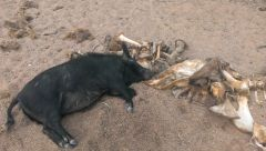 dead camel sow